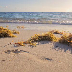 Line Seaweed